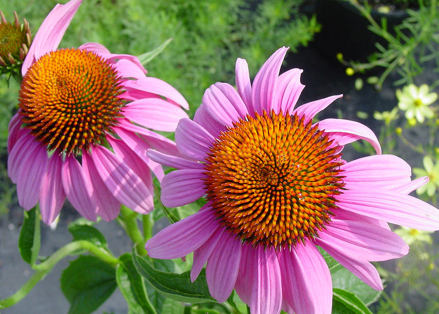 Flower Photograph - Purple Coneflowers by Suzanne Gaff