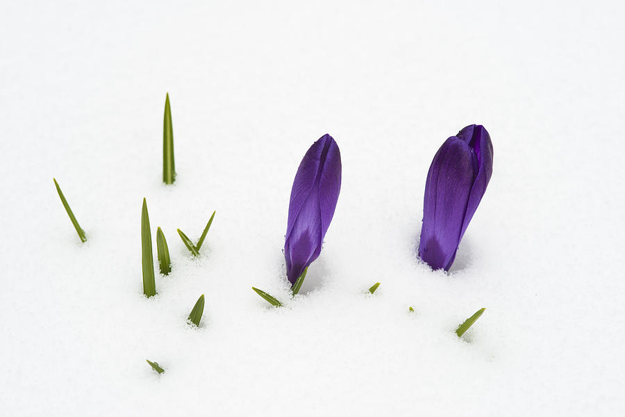 Crocus Photograph - Purple Crocus In The White Snow - Spring Meets Winter by Matthias Hauser