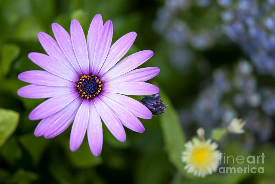 Purple Photograph - Purple Daisy by Design Windmill
