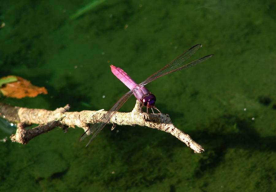 Dragonfly Photography Photograph - Purple Dragonfly by Ella Char