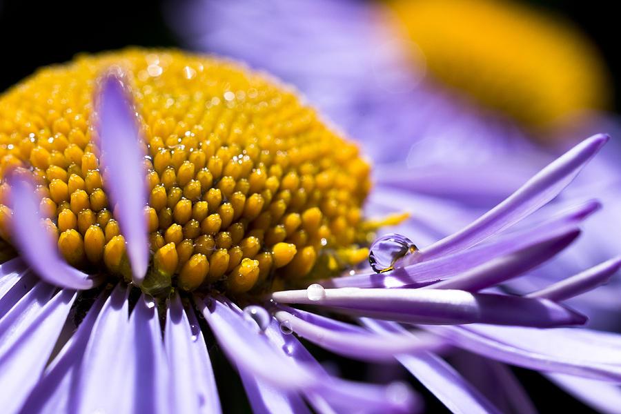 Aster Photograph - Purple Drop by Priya Ghose