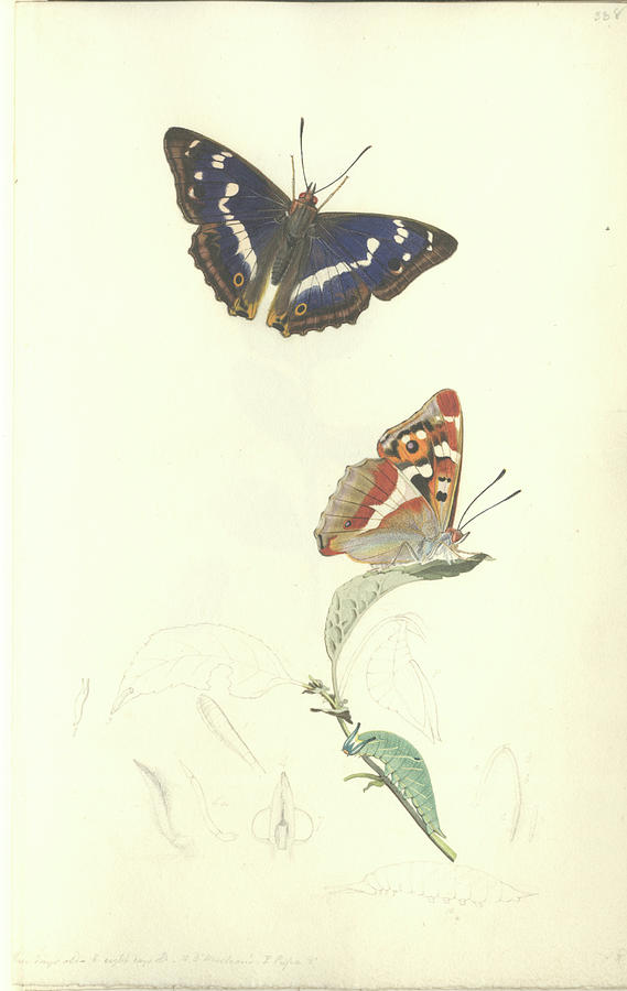 Apatura Iris Photograph - Purple Emperor Butterfly by Natural History Museum, London/science Photo Library