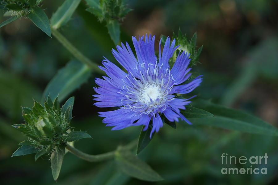 Flower Photograph - Purple Flower by Megan Cohen