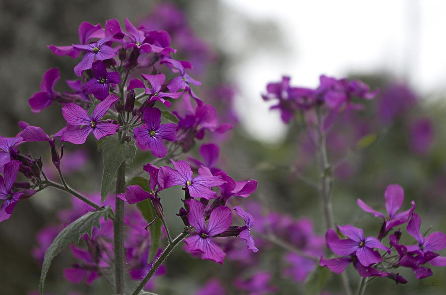 Purple Flowers Photograph - Purple Flowers by Sharon Popek