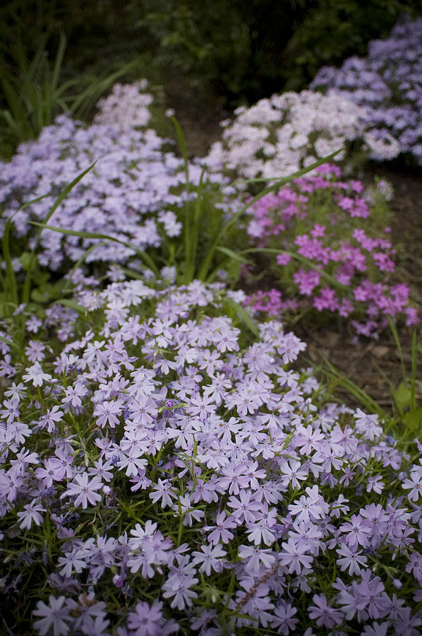 Purple Garden Photograph