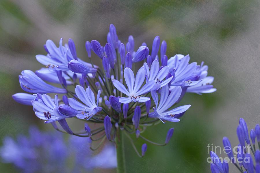 Carmel Photograph - Purple Glory by Kay Pickens