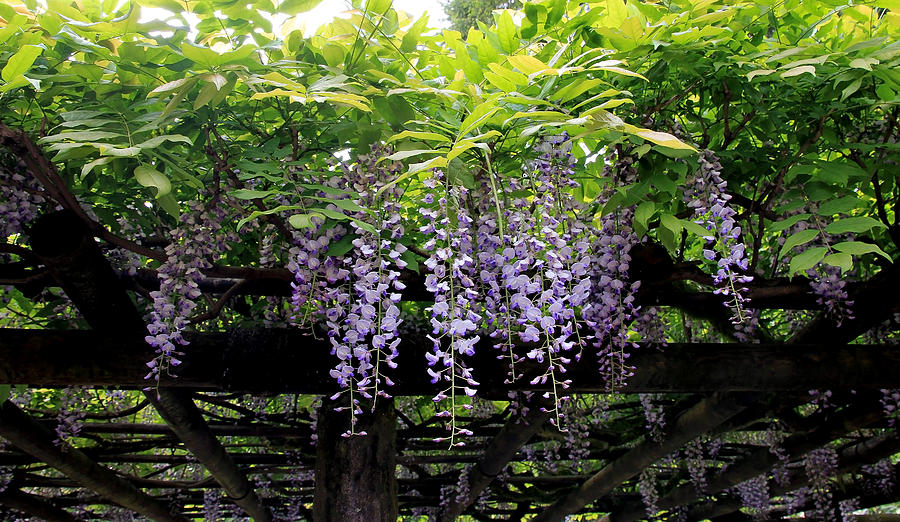 Purple Hanging Flowers Photograph By Athena Mckinzie