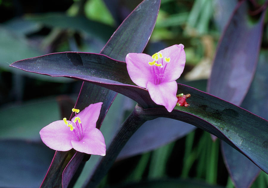 Wandering Jew Photograph - Purple Heart (tradescantia Pallida) by Mike Danson/science Photo Library