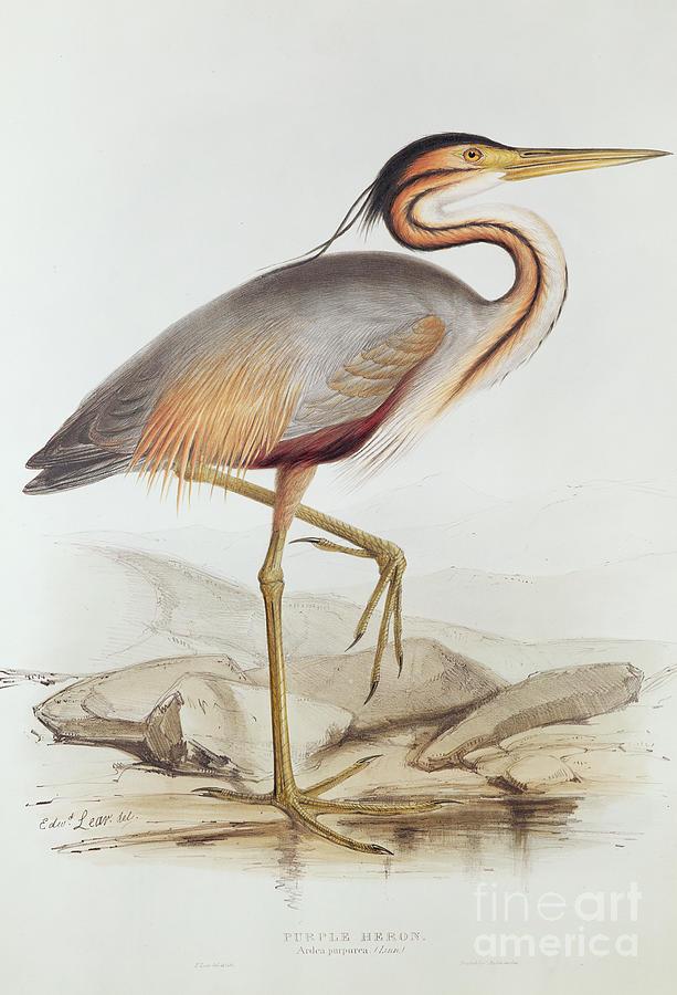 Bird Painting - Purple Heron by Edward Lear