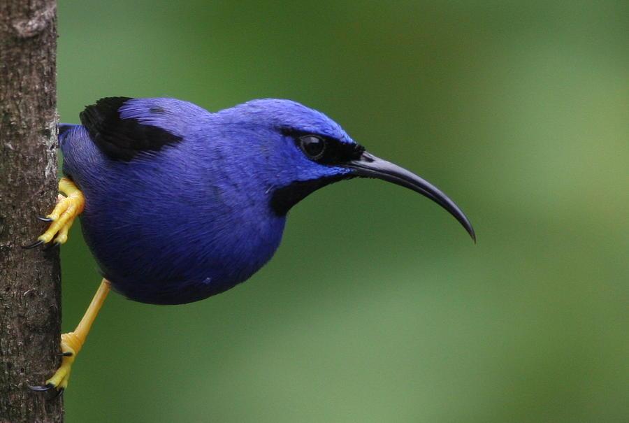 Bird Photograph - Purple Honeycreeper by Joe Sweeney