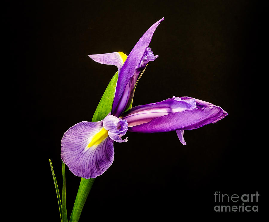 Iris Flower Photograph - Purple Iris 2 by Mitch Shindelbower