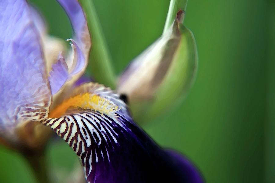 Iris Photograph - Purple Iris 2 by Theresa Tahara