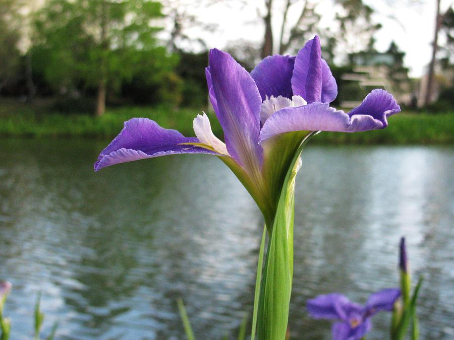 Purple Iris by a Pond by Tom Hefko