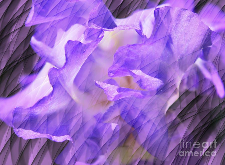 Iris Photograph - Purple Iris Flower Abstract by Judy Palkimas