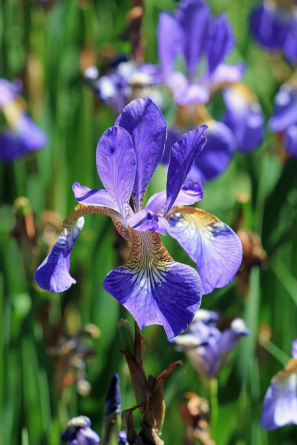 Spring Flowers Photograph - Purple Iris by Michael Saunders