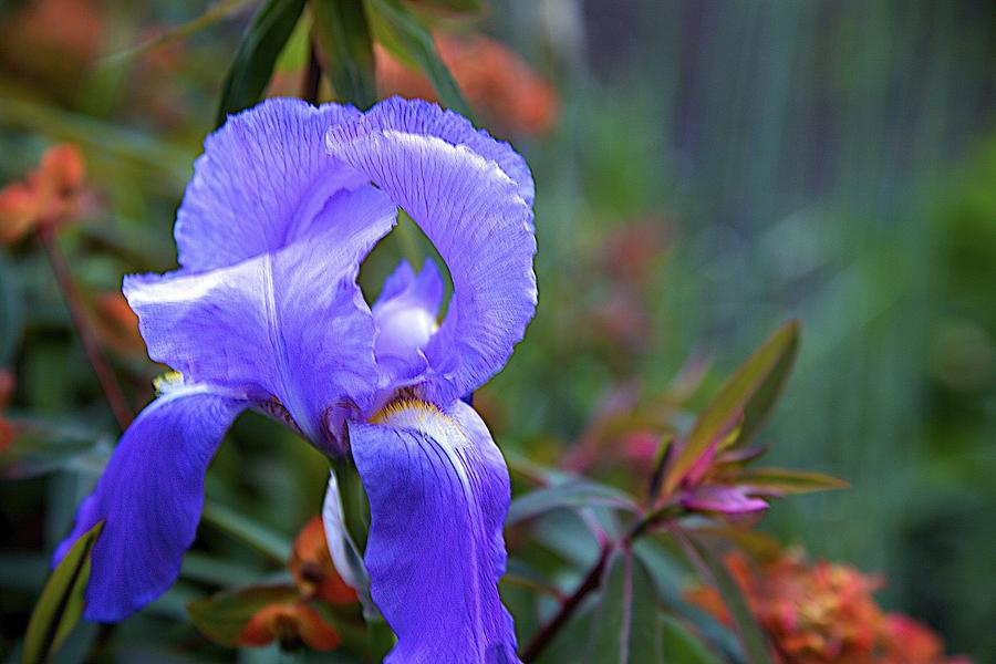 Purple Iris Photograph - Purple Iris by Terry Horstman