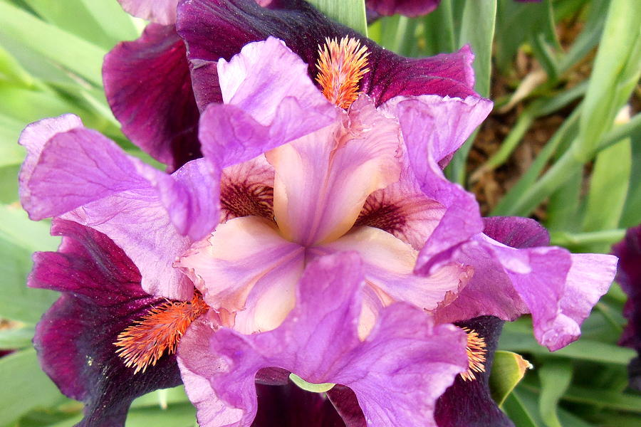 Iris Photograph - Purple Iris by Virginia Forbes