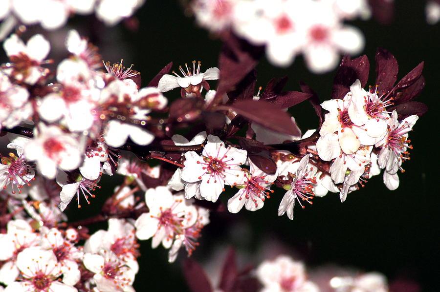 Purple Leaf Sand Cherry Tree Photograph By Bj Hodges