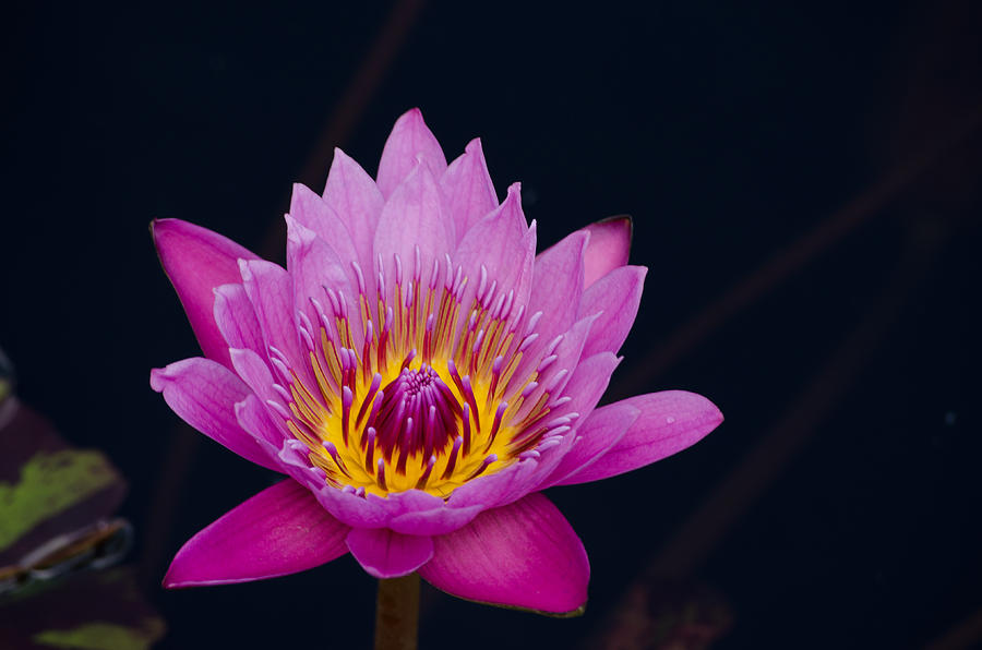 Purple Lotus Flower by Jim Shackett