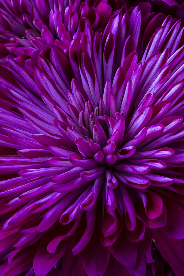 Purple Mums Photograph By Garry Gay