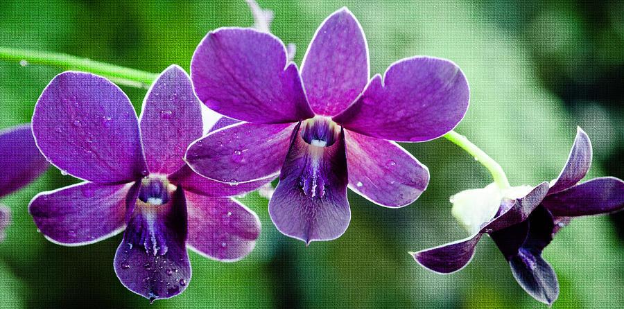 Purple Orchids Photograph