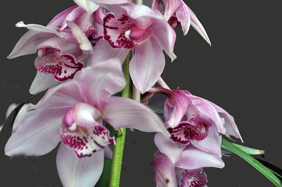 Flora Photograph - Purple Orchids by Judith Russell-Tooth