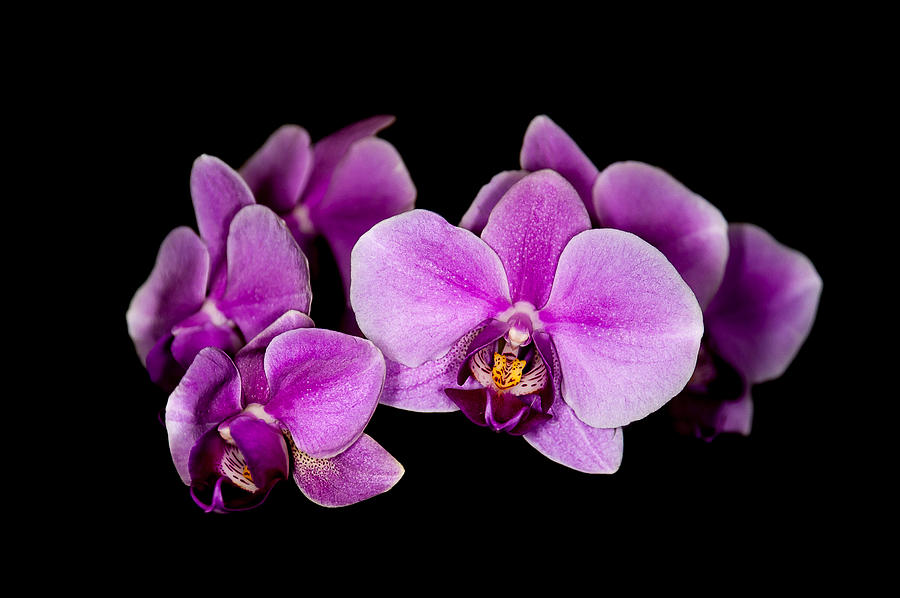 purple orchids by Len Romanick