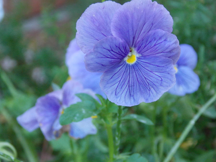 Pansy Pictures Photograph - Purple Pansy by Annette Allman