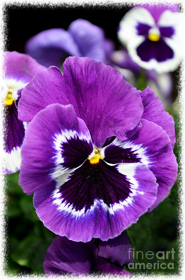 Pansy Photograph - Purple Pansy Close Up by Debbie Portwood