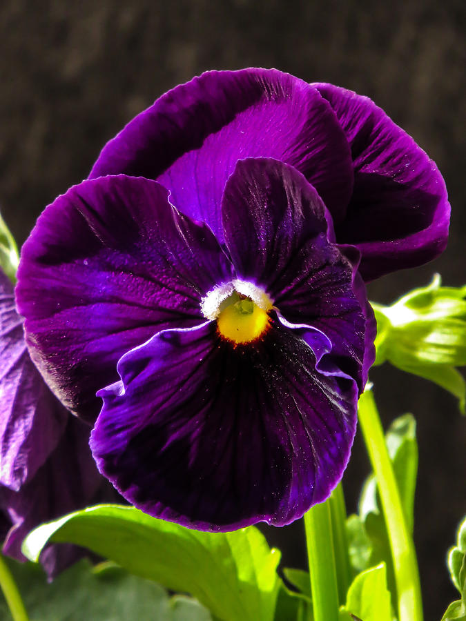 Pansy Photograph - Purple Pansy by Zina Stromberg