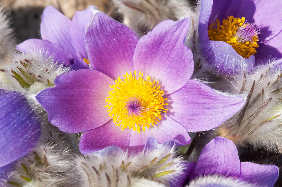 Purple Pasque Flower In Spring Photograph