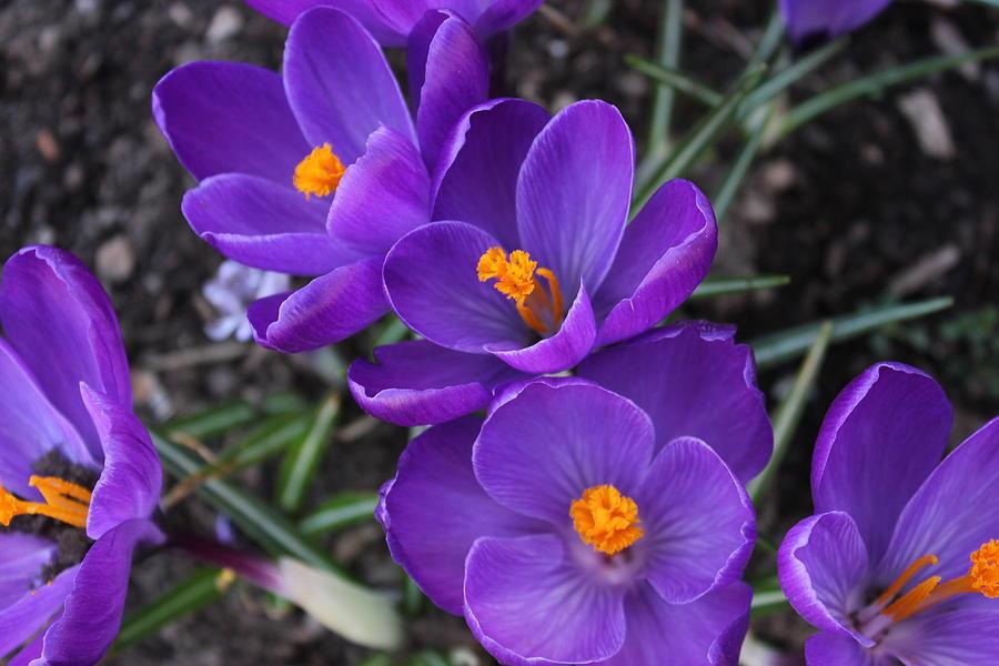 Spring Photograph - Purple Passion by Judy Palkimas