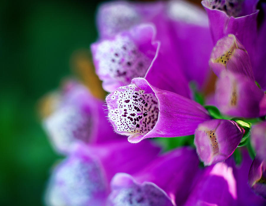 Flowers Photograph - Purple Passion by Tammy Smith