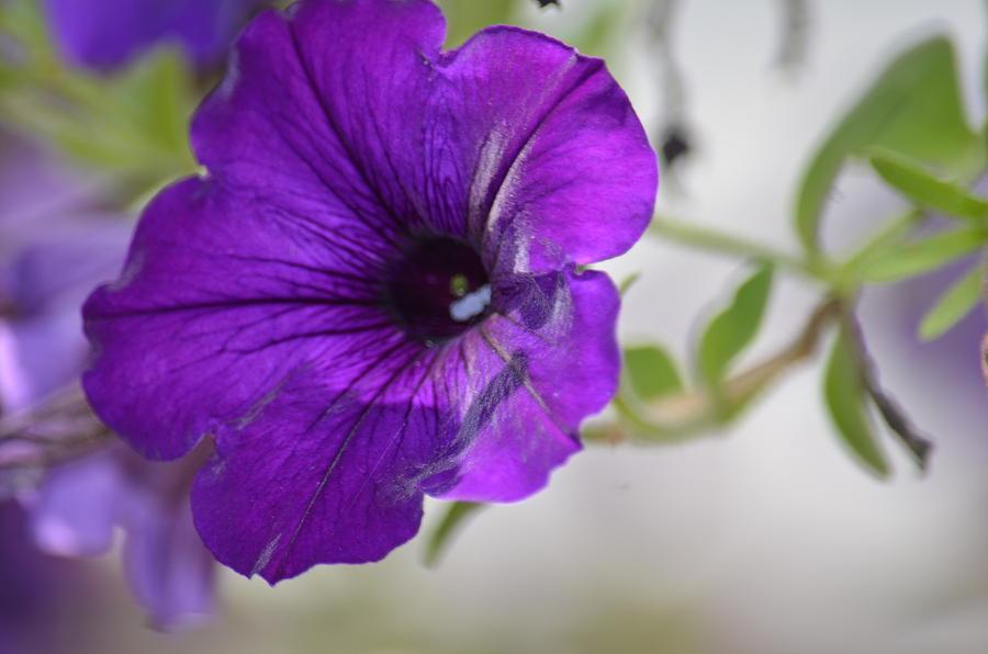 Purple Petunia Photograph - Purple Petunia 2013 by Maria Urso