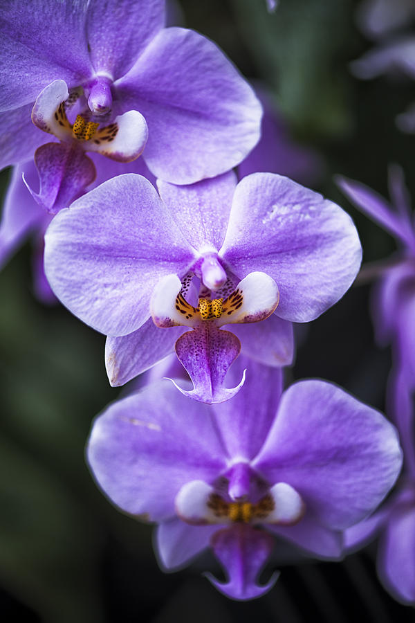 Purple Phalaenopsis Orchid Photograph By David Waldo