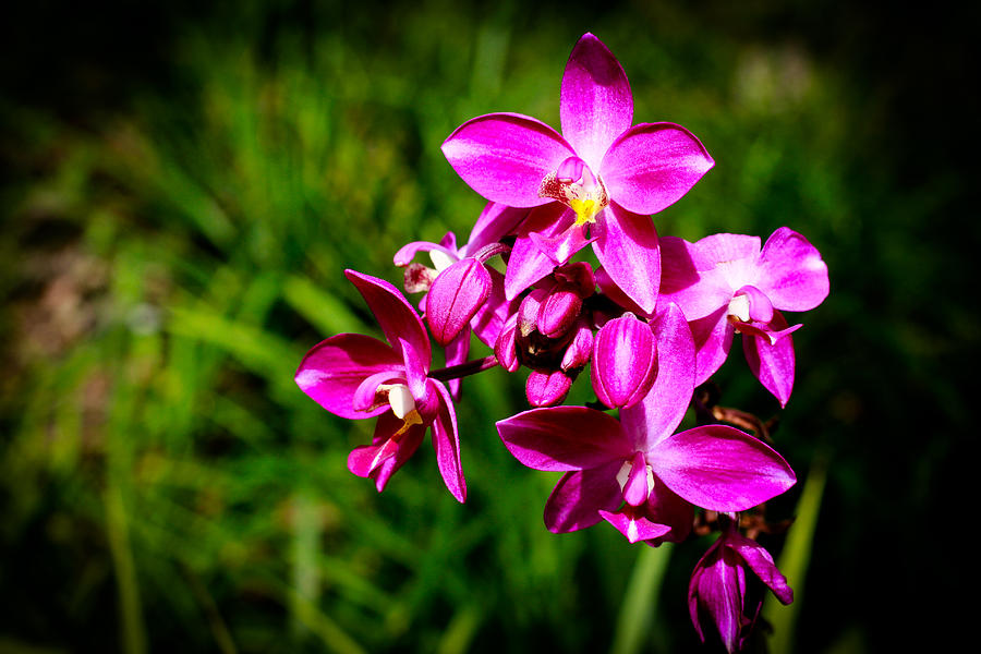 Spathoglottis Plicata Photograph - Purple  Philippine Ground Orchid by Donald Chen