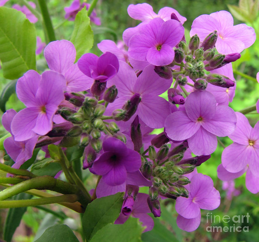 Wild Flowers Photograph - Purple Popping 1 by Cedric Hampton