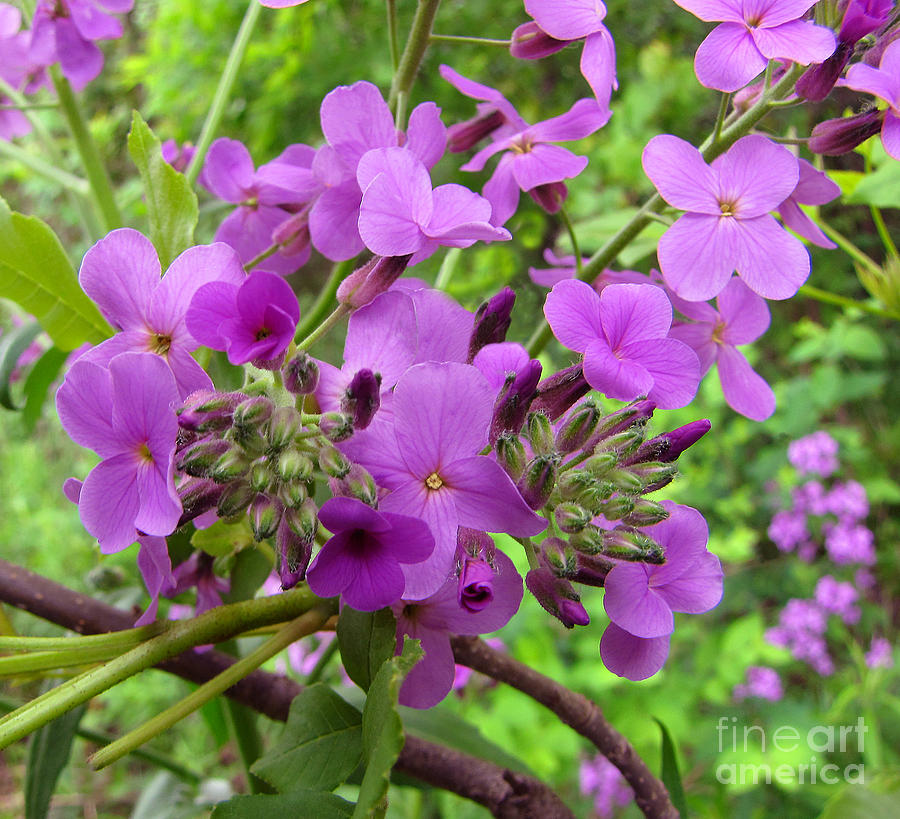 Wild Flowers Photograph - Purple Popping 2 by Cedric Hampton