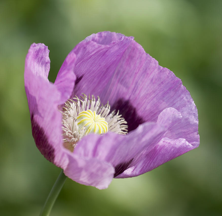 Purple Poppy Photograph - Purple Poppy by Gillian Dernie