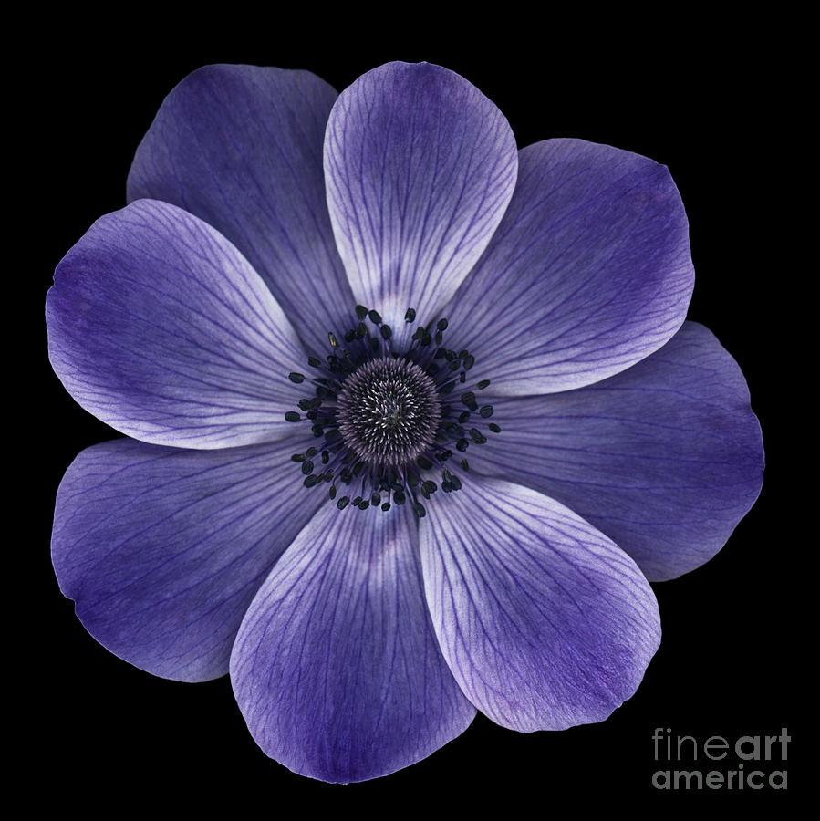 Black Photograph - Purple Poppy by Oscar Gutierrez