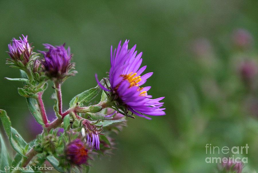 Flower Photograph - Purple Profiles by Susan Herber