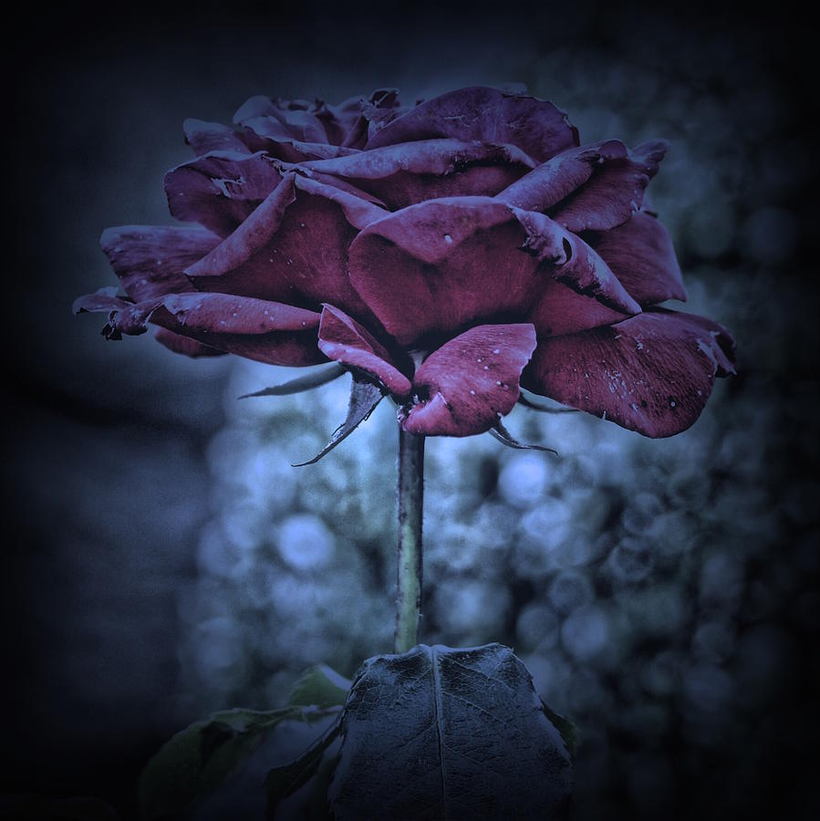 Rose Photograph - Purple Rose by Angel Eowyn