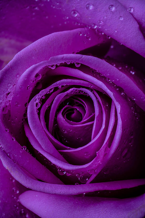 Purple Photograph - Purple Rose Close Up by Garry Gay