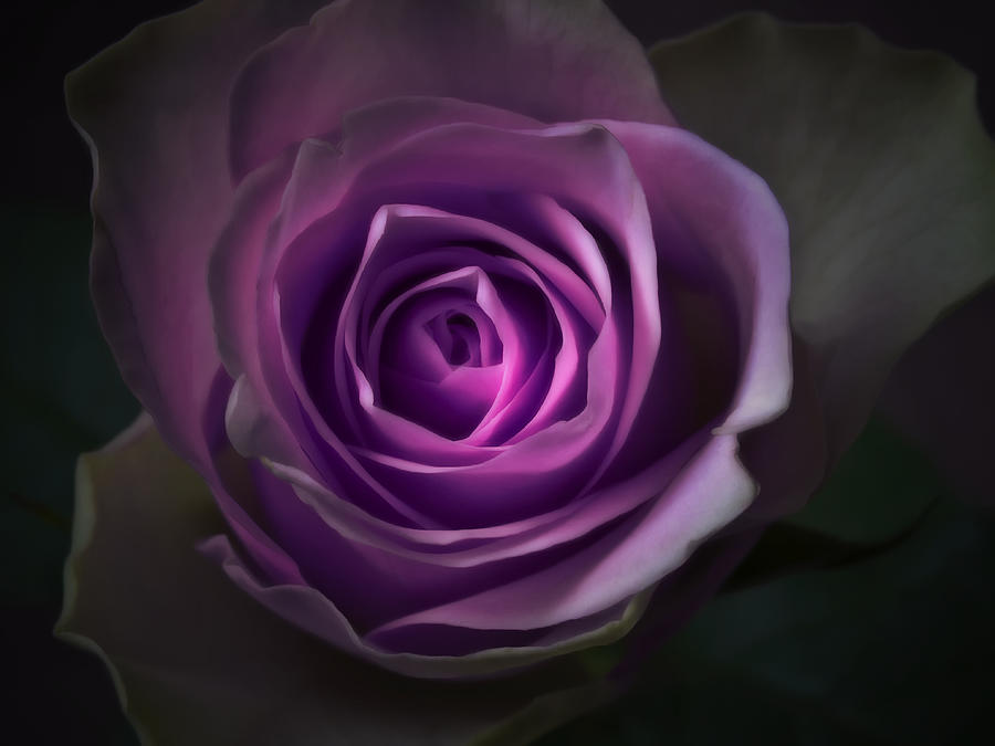 All Photograph - Purple Rose Flower - Macro Flower Photograph by Artecco Fine Art Photography