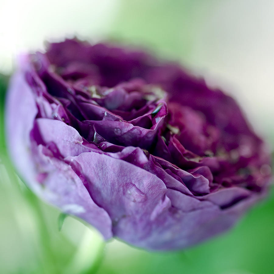Frank Tschakert Photograph - Purple Rose by Frank Tschakert