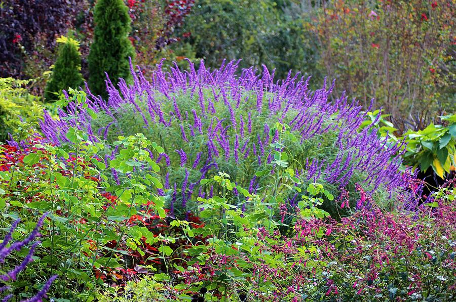 Purple Salvia Photograph - Purple Salvia In The Garden by Cynthia Guinn