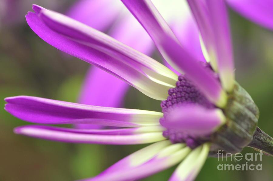 Senetti Photograph - Purple Senetti I by Cate Schafer
