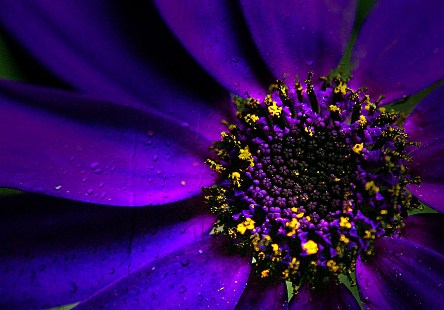 Macro Photograph - Purple Senetti In Macro by Rosanna Zavanaiu