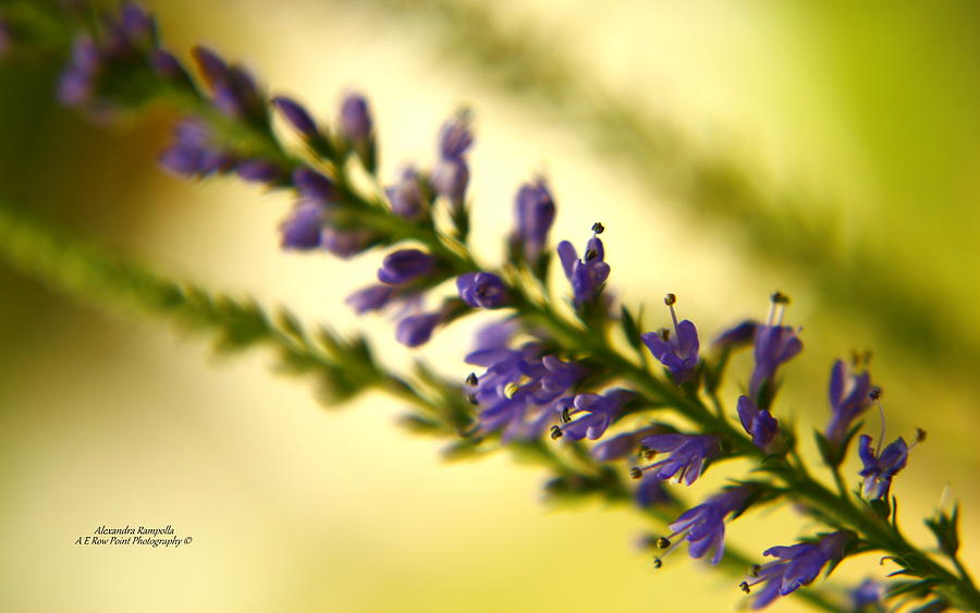 Purple Photograph - Purple Spear by Alexandra  Rampolla