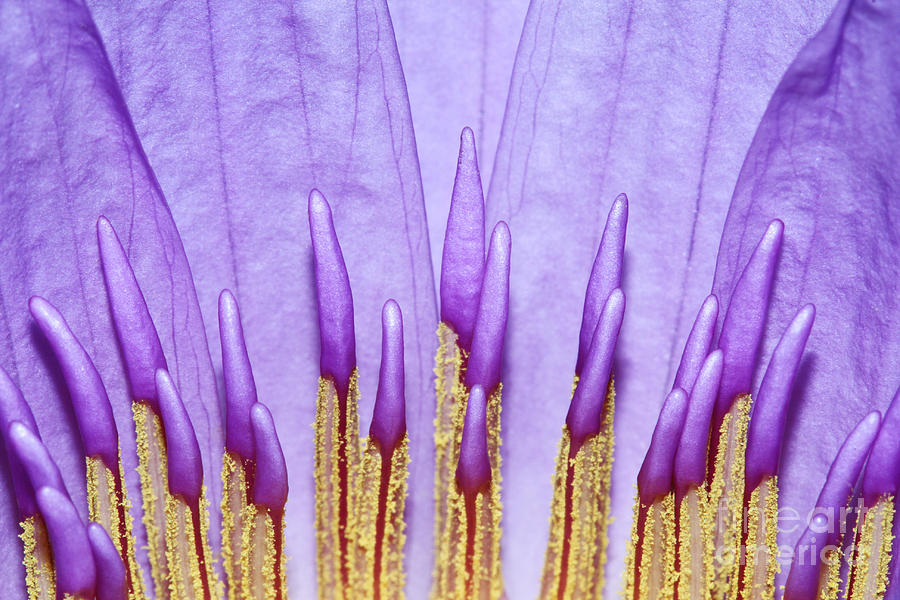 Water Lily Photograph - Purple Spires by Judy Whitton